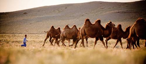 Bactrian-Camel-318150-500px-16x7