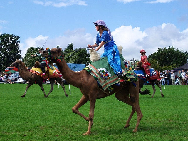 Charity camel racing at Cotley Point-to-Point, horse camel racing blogspot